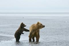 The comfort in a touch (mtngirl911) Tags: ocean nature animals alaska wildlife bears cubs mammals grizzlies grizzlybear lakeclarknationalpark