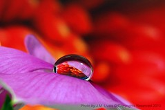 Trapped in a Teardrop (uvaisjm - Al Seylani Photography) Tags: pink flowers red macro water closeup waterdrop drop refraction droplet teardrop canonpowershot vinca platinumphoto a590is