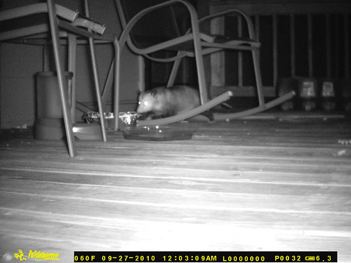 A skinny possum approaches the feeding dish from underneath the rocking chair.
