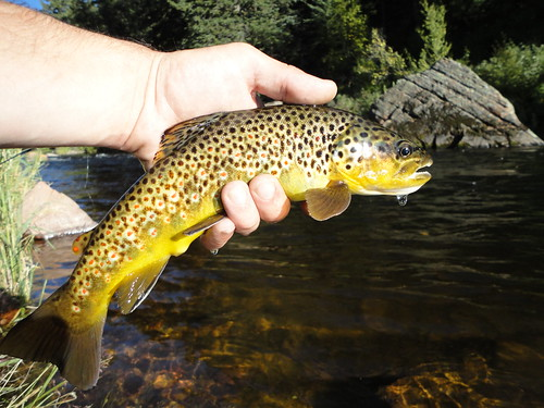 Colorful Wild Brown Trout