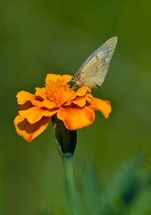 Small White On Marigold (aeschylus18917) Tags: danielruyle aeschylus18917 danruyle druyle ダニエルルール ダニエル ルール japan 日本 nikon d700 105mmf28gvrmicro 105mmf28 105mm nature insect butterfly macro flower nagano 長野県 ueda 上田市 別所温泉 besshoonsen nikond700 80400mmf4556dvr cabbagebutterfly モンシロチョウ smallwhite whitecabbagebutterfly lepidoptera papilionoidea pieridae pierinae pierini pieris pierisrapae orange marigold nikkor105mmf28gvrmicro チョウ asterids asterales asteraceae asteroideae tageteae tagetes pxt