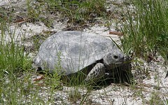 Learn more about the gopher tortoise (FWC Research) Tags: florida research gophertortoise gopheruspolyphemus