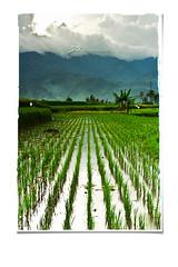 Rice Above The Rest.. (Mankamundo PhotoArt) Tags: mountains landscape paddy fields kampung sawah padang kampuang silungkang