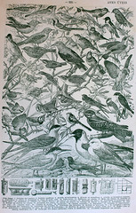 1031064 (El Bibliomata) Tags: old art birds illustration century vintage book arte antique illustrated libro illustrations drawings books aves pajaros engraving plates dibujos antiguo xix 19th engravings ilustraciones siglo grabados lminas ilustrado bibliomata