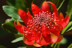Waratah (aussiegall) Tags: flower leaves garden petals spring bush native waratah