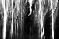 apostrophe (nicola tramarin) Tags: trees bw italy alberi italia icm biancoenero mosso veneto rovigo apostrofo blackwhitephotos polesine intentionalcameramovement mossointenzionale nicolatramarin