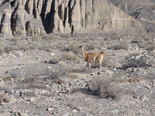 A wild guanaco