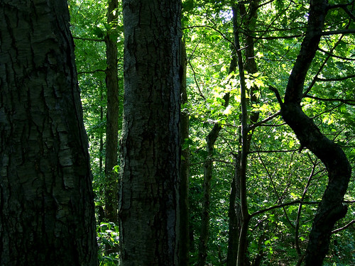 black birches in Plummer's Hollow