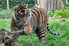 panthera tigris sumatrae (Joachim S. Müller) Tags: ireland dublin animal cat mammal zoo tiger irland katze sumatrantiger tier panthera pantheratigris dublinzoo 虎 säugetier sumatratiger pantheratigrissumatrae zoodublin groskatze tamronaf18270mmf3563