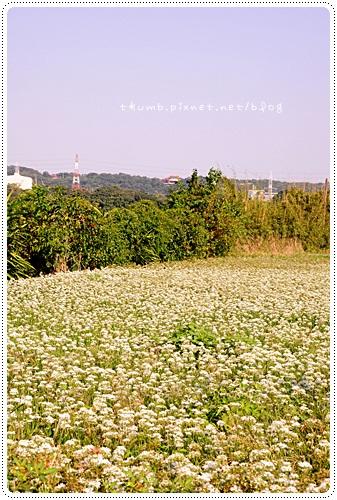 韭菜花田 (4)
