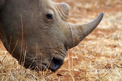 White Rhinoceros or Square-lipped rhinoceros (Ceratotherium simum)