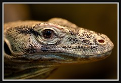 Scary brother is watching you... (Arie van Tilborg) Tags: blijdorp dino dierentuin hagedis reptiel diergaarde varaan rotterdamzoo ultimateshot arievantilborg