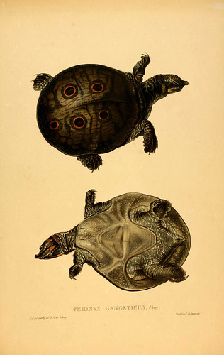 020-Trionyx Gangeticus-Tortoises terrapins and turtles..1872-James Sowerby