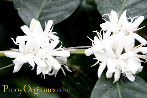 Philippine coffee flower