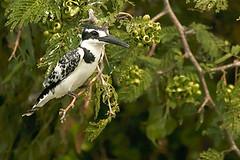 Pied Kingfisher (Ceryle rudis) Queen elizabeth NP Uganda (gipukan (rob gipman)) Tags: africa safari kingfisher np uganda queenelizabeth xsi piedkingfisher cerylerudis 450d canon100400lis piedkingfisheruganda