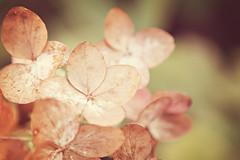 hydrangea {22 of 365} (RebeccaVC1) Tags: autumn fall petals faded hydrangea 365