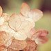 hydrangea {22 of 365}