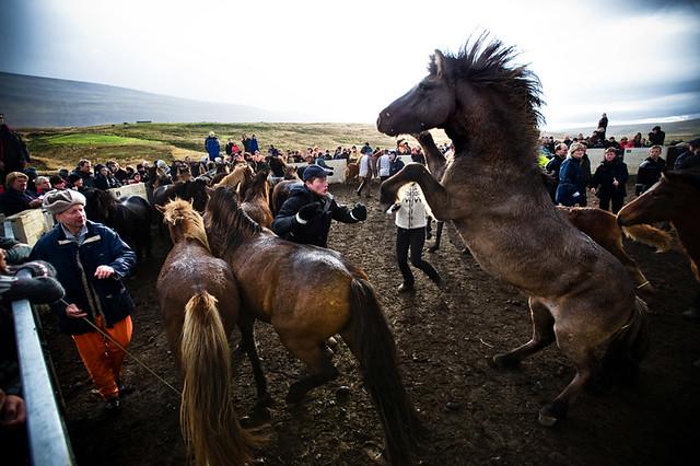 Herd_In_Iceland-20837