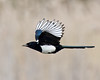 One for Sorrow (Andrew Haynes Wildlife Images) Tags: bird nature flight magpie brandonmarsh canon7d ajh2008 carltonhide