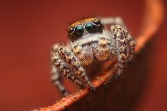 Subadult Male Habronattus pugillis (Mundo Poco) Tags: arizona macro canon spider arachnid jumpingspider salticidae mpe65mm santaritamountains habronattus 450d mtwrightson specinsect rebelxsi josephinesaddle habronattuspugillis