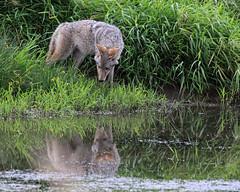 The Ducks were right here .. (Team Hymas) Tags: coyote wildlife refuge ridgefield shirleen fantasticnature teamhymas