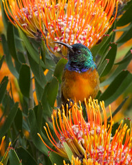 Orange-breasted sunbird - Explored #248 October 9, 2010 (andiwolfe) Tags: southafrica explore kirstenbosch sunbird leucospermum proteaceae mywinners