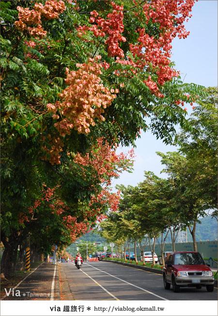 【台中】台灣秋天最美的街道!台中大坑發現美麗的台灣欒樹5