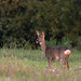 Autumnal beauty - Roe deer Doe in the evening sunlight