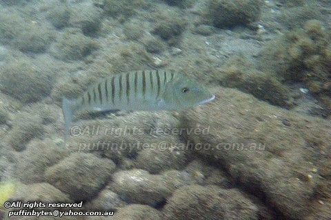 Striped Seabream - Lithognathus mormyrus