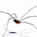 Harvestman (Eastern Daddy Longlegs) (Order Opiliones, Leiobunum sp.) thumbnail
