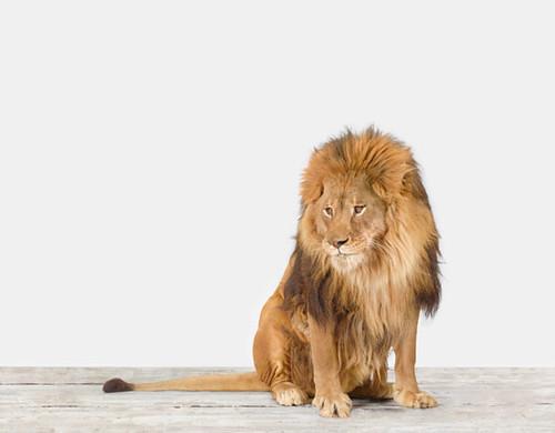 sharon-montrose-lion-photograph-print-poster