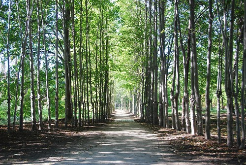 Tree-lined walkway