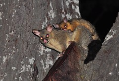 Hang on (Nev Cross) Tags: sigma d90 brushtail sigma150mm