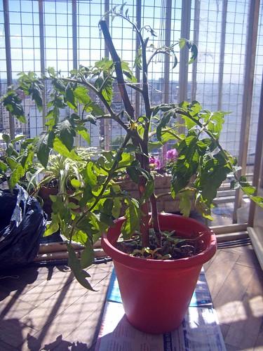 10-Tomate.huertaenjaulada.blogspot.com