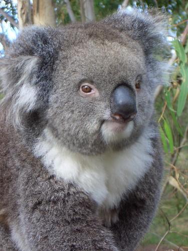 Koala yes