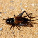 Fall Field Cricket - Photo (c) Mr. T in DC, some rights reserved (CC BY-ND)