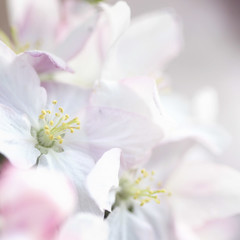 ...filled with soft breathing... (jewelflyt) Tags: pink white macro apple spring soft blossom bokeh quote pale appleblossom storypeople hbw bokwhwednesday whisperywhitewednesday hwww