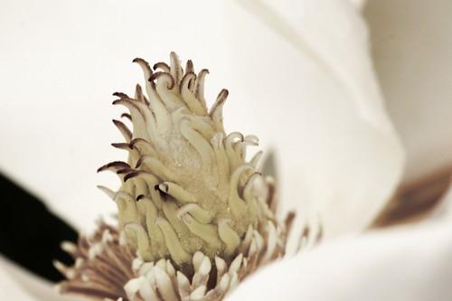 Magnolia Flower Monochrome