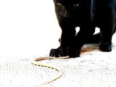 caccia (MArco) Tags: black cat gatto nero gatti serpente
