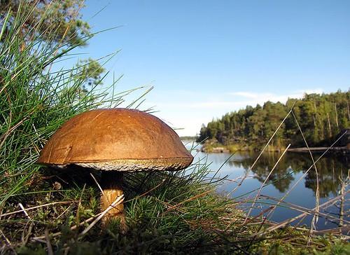 Borowik w fińskich lasach