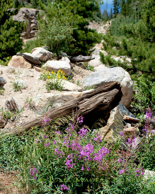 Purple wildflowers grow amongst rocks and weathered logs on a trail in Rocky Mountain NP, Colorado.