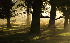prick up your ears (felt_tip_felon) Tags: morning autumn trees light nature leaves animal forest season leaf woods warm stag wildlife reddeer rutting