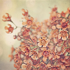 146/365 explored! #8 (Laura L. Ruth) Tags: orange macro fall texture nature square peach dreamy desaturated 365 sherbet creamy waxflower floralfiller