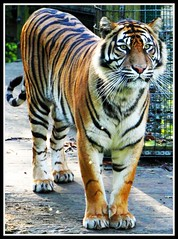 Sumatran Tiger (Charles Neesham) Tags: colour beautiful face animal gardens canon lens fur zoo hall suffolk intense eyes pattern looking stripes wildlife coat tiger tail norfolk east whiskers tigers stare hungry endangered paws camoflage habitat tamron claws anglia 18mm thrigby 500d 270mm sumantran