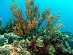 pic_0587 (Thespis377) Tags: fish coral sand underwater scuba diving bahamas nassau reef sponge exumas barracudashoals 20101018 baracudashoals
