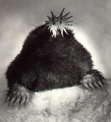 star-nosed-mole-6 (gordonramsaysubmissions) Tags: star mole nosed starnosedmole