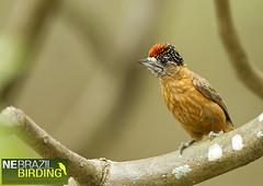 Tawny Piculet - Picumnus fulvescens