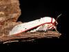 Aloa lactinea (Cramer, [1777]) (P.S.SIVAPRASAD) Tags: moth lepidoptera moths noctuidae arctiinae aloa arctiini mothsofindia mothsofkerala aloalactinea mothsofpalghat lactinea