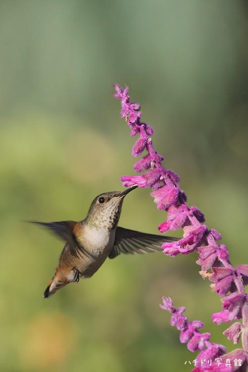 Allen's Hummingbird 111310-2