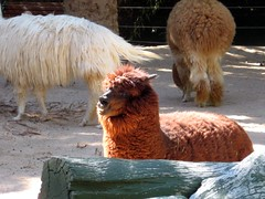 I Love Llamas! at Siegfried & Roy's Secret Garden - Las Vegas (joanna8555) Tags: trip vacation animals fun outside hotel spring lasvegas nevada llama fluffy casino nv mirage llamas secretgarden lv siegfriedroy siegfriedroyssecretgarden joanna8555 thejabproj3ct shebbalone